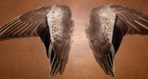 Widgeon wings plaque from Dr. Keith Killingbeck